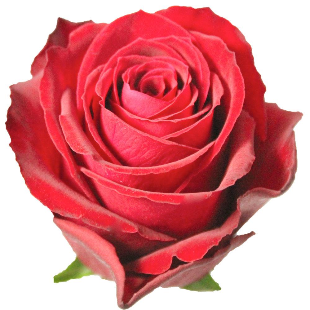 Madam Red on Valentine