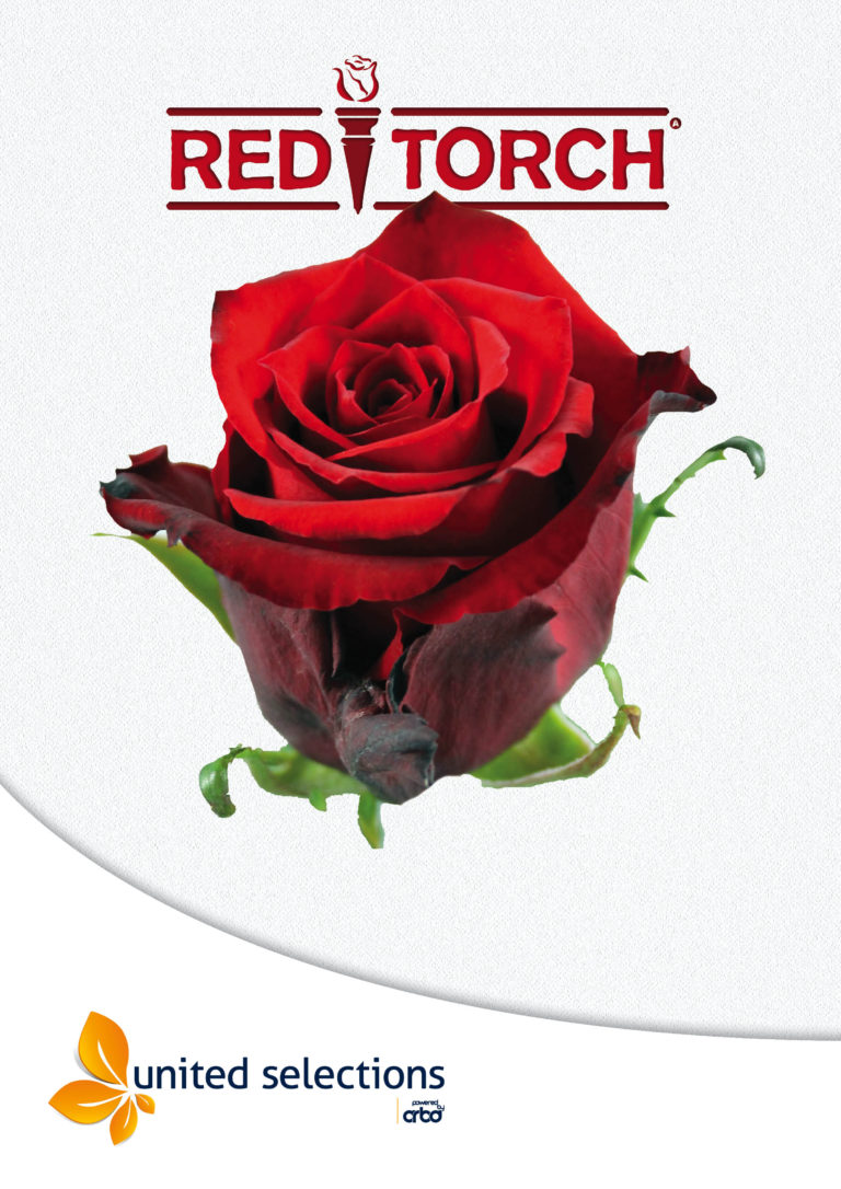 Introduction of Red Torch by Alpha Flora at FH-Aalsmeer and Kneppers Rozen at the Flora Holland Auction in Rijnsburg