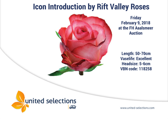 Rosa Icon Introduction by Rift Valley Roses