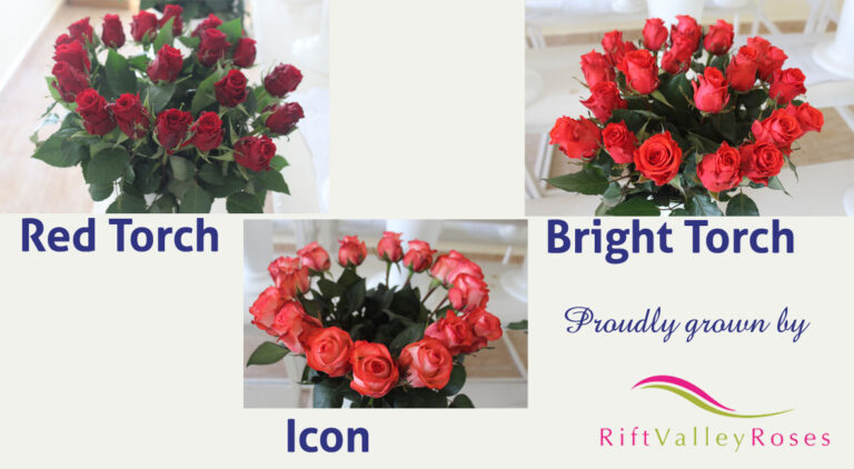 United Selections' Varieties Grown at Rift Valley Roses (RVR)