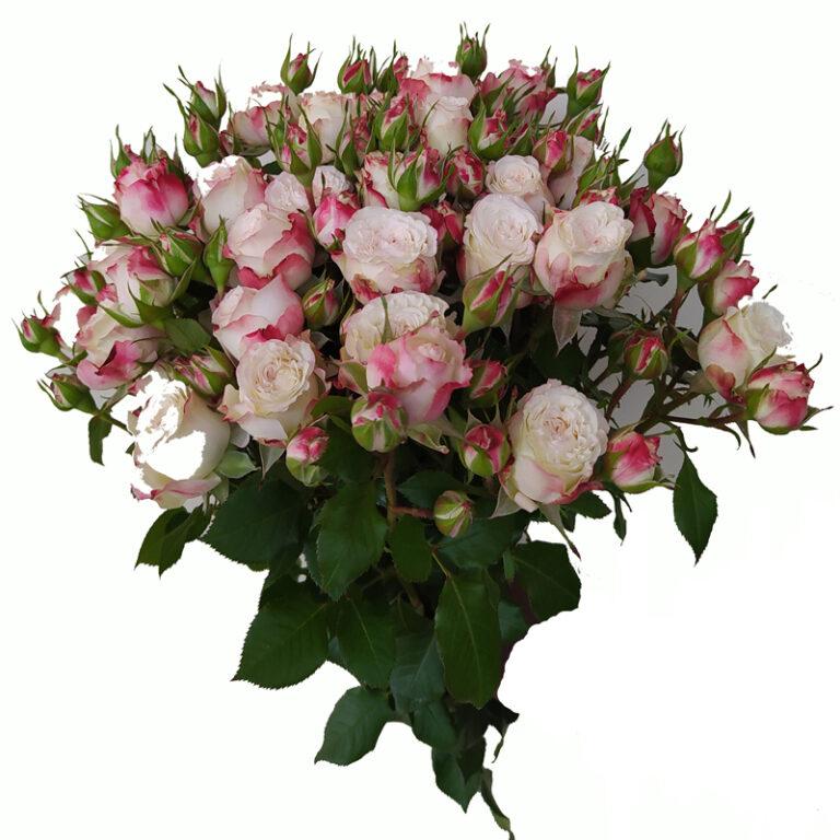 Innocent Blossoms