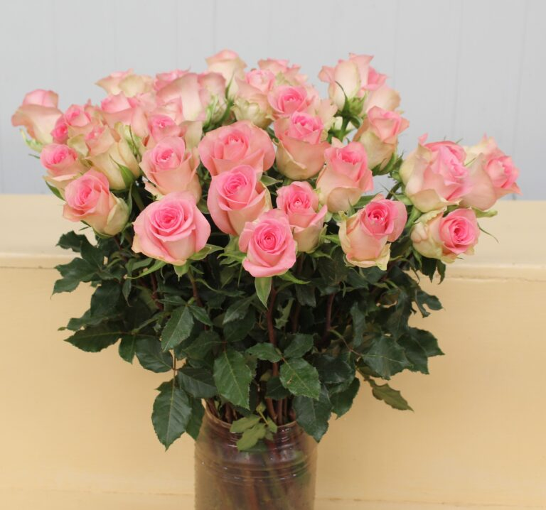 Speechless, New  and Unique Intermediate Rose