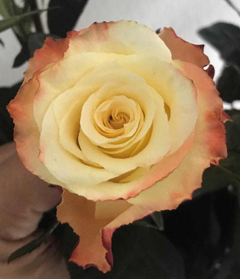 Cream Magic- Rose of the Month