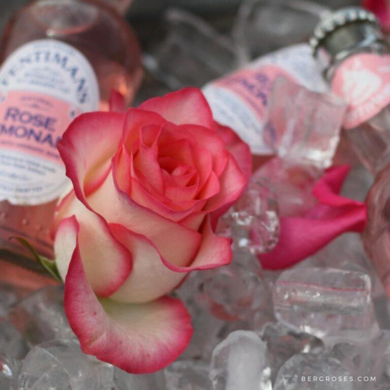 Jumilia- Hot Bi-colored Rose
