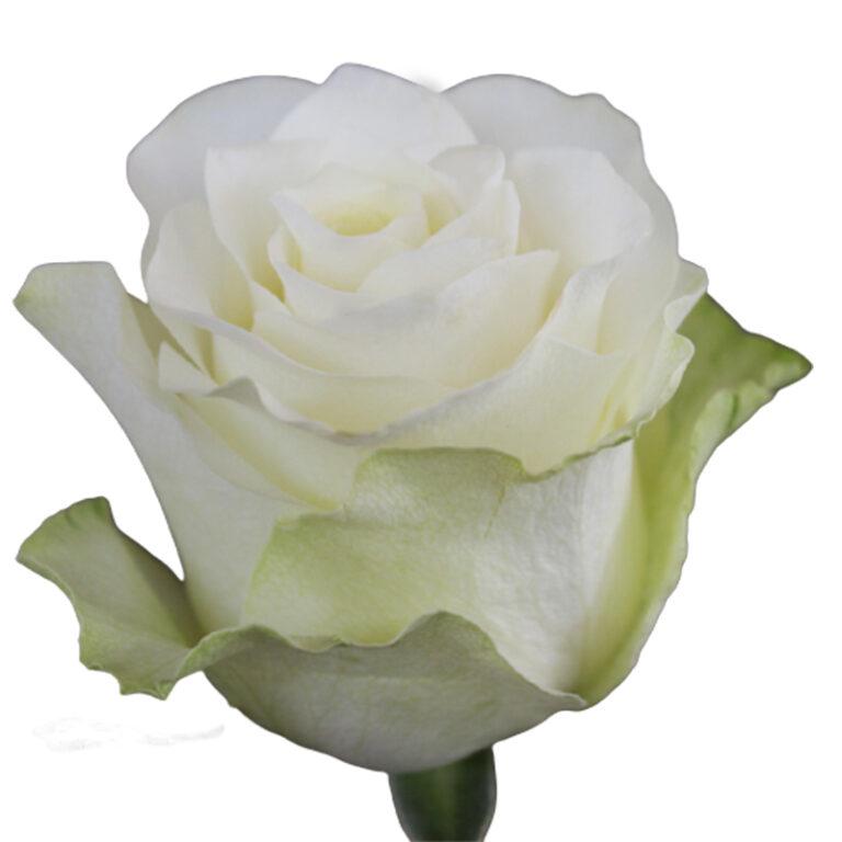 White Jumilia